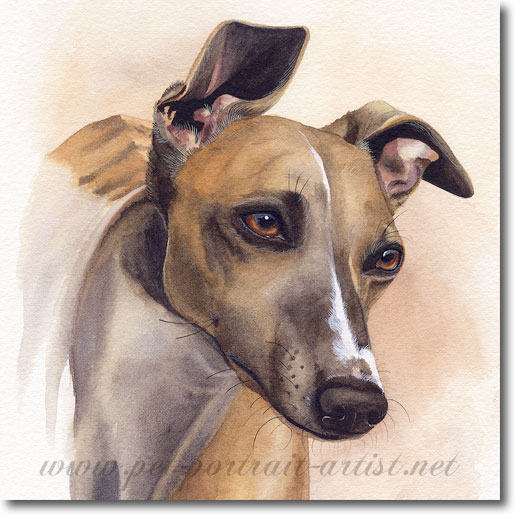 Fi, Whippet, watercolour Pet Portrait by Joanna Culley