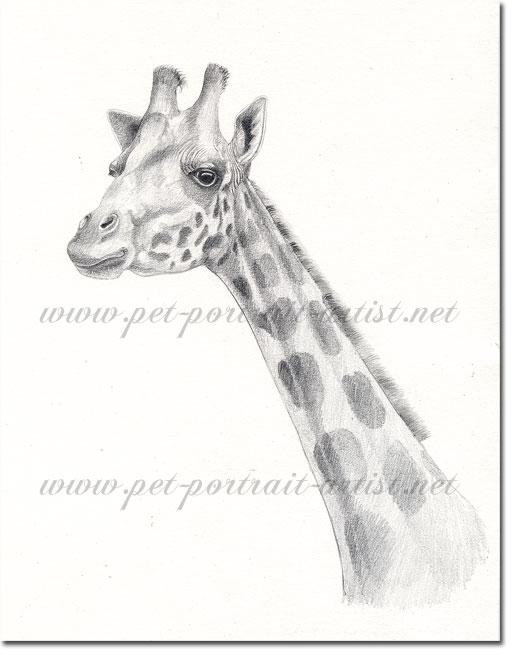 Giraffe Pencil Drawing