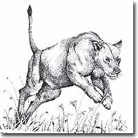 Pen and ink drawing of a lioness by Joanna Culley