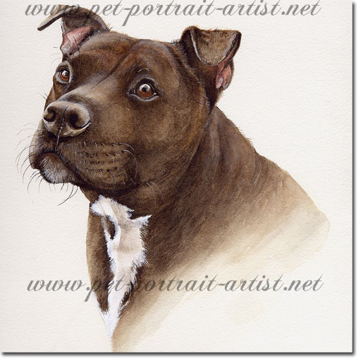 Portrait of a staffordshire bull terrier dog, by Joanna Culley