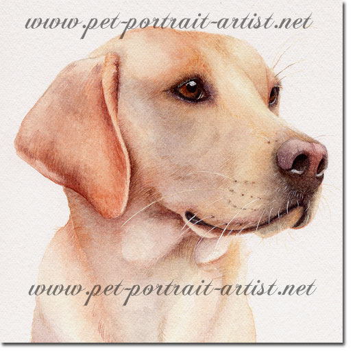 Portrait of a Labrador, Tom, by Joanna Culley